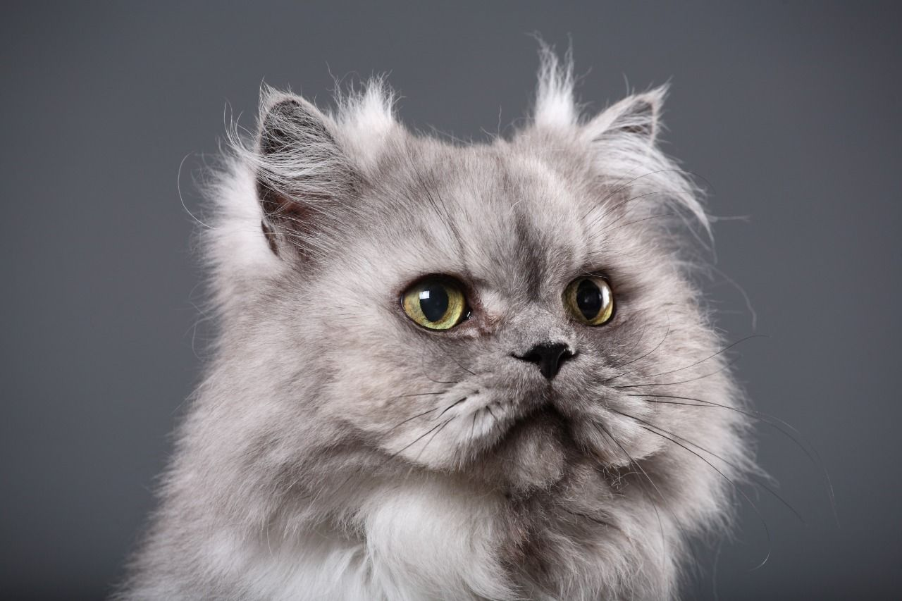 A gray Persian Cat
