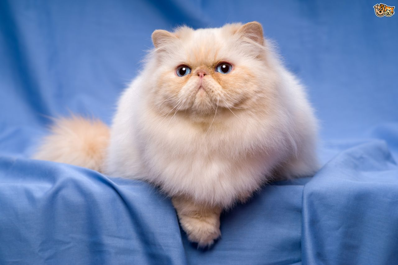 A lovely Persian Cat