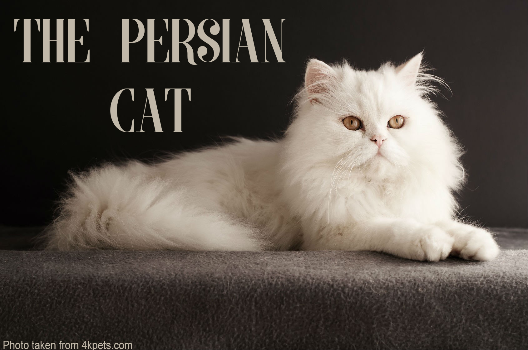 Persian Cat: Interesting Facts And Information