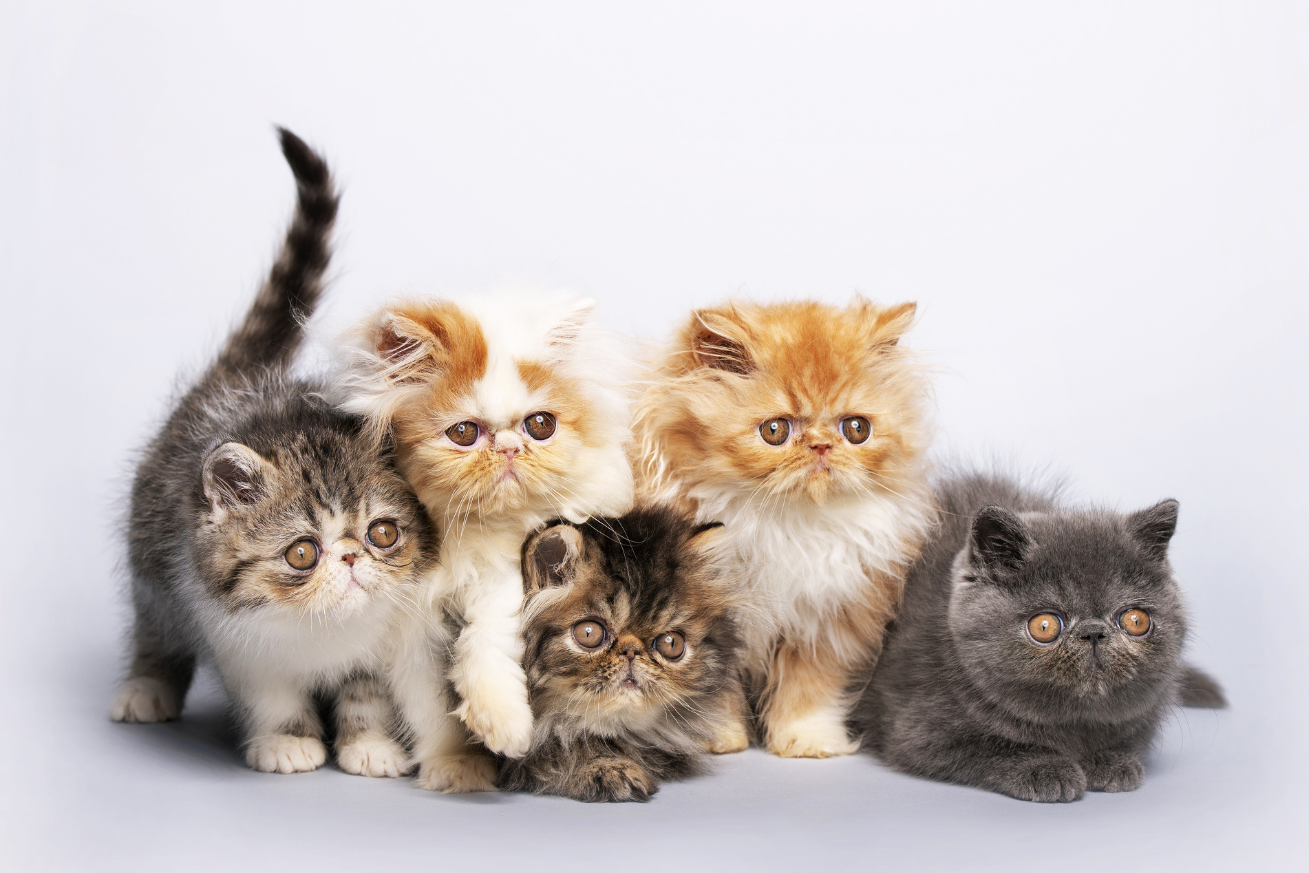 A group of Persian cats