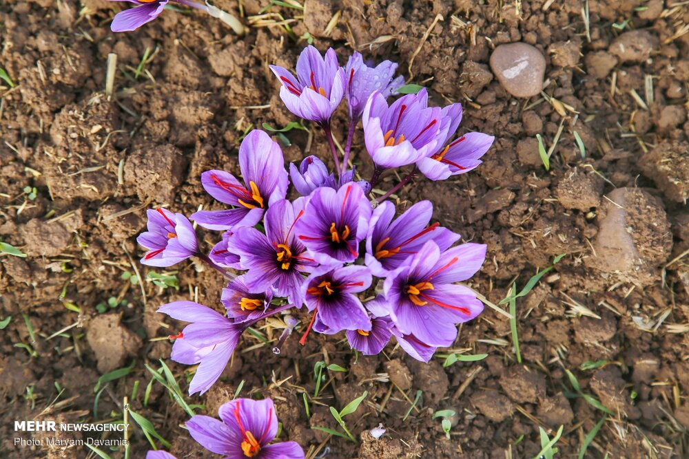 Cultivating Saffron in Iran