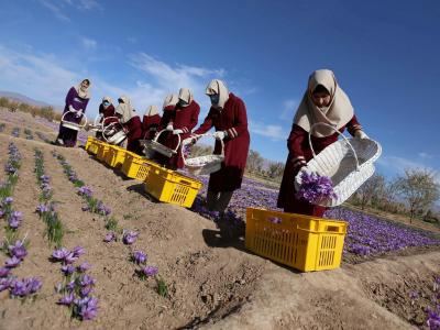 Saffron Harvest Season In Iran