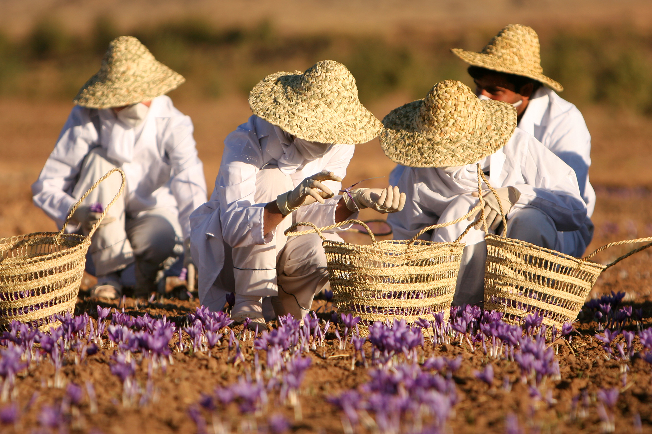 Saffron farm in Iran
